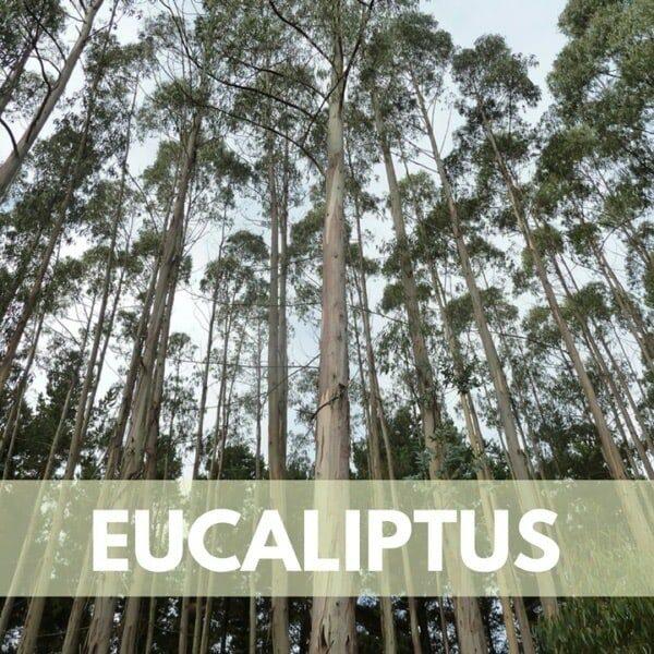 eucaliptus res600 — Humos.cl